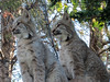 Lynx (2) (bookworm1225) Tags: zoo october 2014 minnesotazoo northerntrail tropicstrail