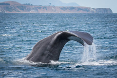 Sperm Whale Fluking 710_1819.jpg (Mobile Lynn) Tags: newzealand nature fauna mammal wildlife canterbury whale mammals kaikoura spermwhale marinemammals watermarked coth supershot specanimal