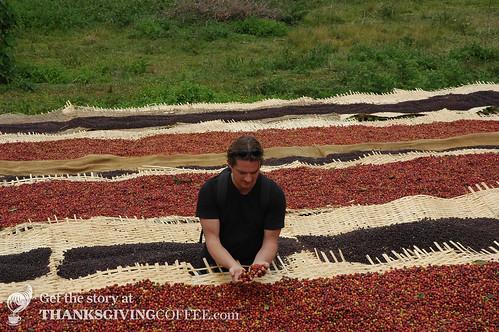 Coffee Cherries Drying in the Sun
