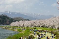Sakura stream (tez-guitar) Tags: flower macro river cherry spring pentax blossoms bloom cherryblossom sakura tamron pentaxart