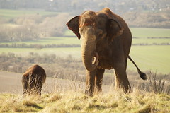 Elephant (ramridgedave) Tags: elephant animal asian zoo march beds bedfordshire whipsnade 2015 zsl