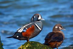 Harlequins (av8s) Tags: nature birds photography duck newjersey nikon wildlife nj sigma barnegat barnegatlighthousestatepark harlequin barnegatbay d7100 120400mm