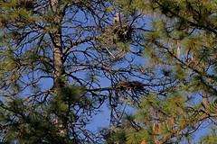 Great Blue Heron nests (Polioptila caerulea) Tags: bird birds heron greatblueheron ardeaherodias rookery pilotpeak california gbhe ardea