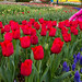 "Skagit Valley Tulips 2015 • <a style=""font-size:0.8em;"" href=""http://www.flickr.com/photos/25269451@N07/16785874848/"" target=""_blank"">View on Flickr</a>"