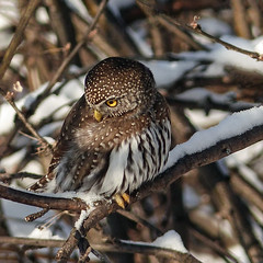 Northern Pygmy-owl on snowy branch (annkelliott) Tags: snow canada calgary bird nature birds branch alberta owl perched bushes ornithology avian birdofprey excellence fishcreekpark northernpygmyowl snowcoveredbranches glaucidiumgnoma avianexcellence fistsized sidefrontview popcansized