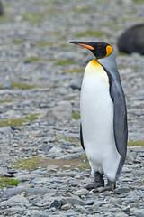King Penguin Sentinel (jpmckenna - What Next????) Tags: penguins antarctica southgeorgia kingpenguin aptenodytespatagonicus rightwhalebay