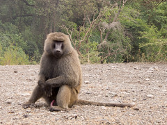 Male olive baboon in Awash National Park