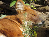 Dhole (2) (bookworm1225) Tags: zoo october 2014 minnesotazoo northerntrail tropicstrail