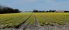 Bollenveld narcissen Egmond. ( Explore ) (Meino NL) Tags: holland netherlands spring explore lente narcis noordholland egmond narcissus voorjaar bollenveld explored narcistêtêàtêtê