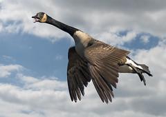 Canada Goose (pheαnix) Tags: canada bird nikon ngc flight goose npc delaware bif 80400mm beckspond d800e