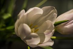 2 April 2015 (runningman1958) Tags: flowers flower nature flora nikon tulips tulip 365 whitetulip 365dayproject d3100 nikond3100 d3100nikon