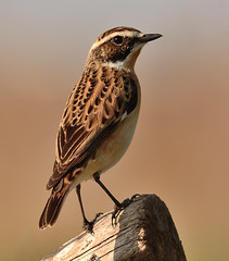 Whinchat (Severnrover) Tags: bird nature birds chat wildlife winchat
