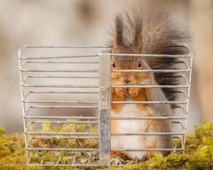 you behaved badly (Geert Weggen) Tags: red plant cute nature animal closeup mammal happy rodent moss squirrel funny iron box ground prison trap geert perennial saveearth weggen destroyearth ilobsterit hardeko