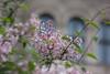 City nature (Melvinia_) Tags: vienna wien city flower fleur 50mm austria europe soft bokeh capital blume vienne autriche oesterreich canoneos450d digitalrebelxsi