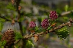 Eine neue Generation / A new generation (rudi_valtiner) Tags: pink austria österreich spring blossom cone rosa larch blüte springtime autriche frühling lärche zapfen bockerl larixlarix