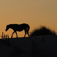 Strength (Raccoon Photo) Tags: sunset summer horses horse sun nature beautiful beauty animal animals silhouette evening amazing sand peace power sundown natural artistic calming free peaceful northcarolina calm serenity strong majestic powerful atlanticocean wildhorses obx noble wildhorse summersunset wildandfree horsesunset beautifulhorse horsebeach sandsunset wildhorsesusa wildhorsetour northcarolinawildhorses wildhorsesunset wildhorsesamerica