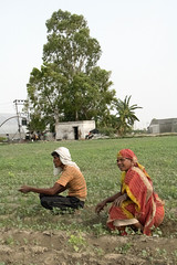 Day Laborers Resting in a Crop Field (IFPRI-IMAGES) Tags: india plant field season village farm labor farming grow soil health crop rest worker produce agriculture yield seated cultivation sustainable pulses nutrition southasia manoli haryana smallfarm sonipat foodsecurity agriculturaldevelopment micronutrients ifpri