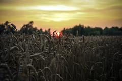 L'ora del tramonto (Valentina Conte) Tags: tramonto sunset ears spighe grano cereali wheat campo field nature sun colours red yellow cielo sky clouds paesaggio landscpe controluce beauty semi harvest raccolto sera evening padova veneto italy seasunclouds canon 100d valentinaconte