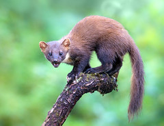 Pine Marten (Chas Moonie-Wild Photography) Tags: wild pine mammal scotland chas marten moonie martes