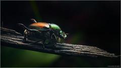 Japanese Beetle (Chris Lue Shing) Tags: olympusep1 nikkoraf50mmf18d nikonpk13 offcameraflash macro insect bug closeup garden beetle furry popilliajaponica japanesebeetle flash