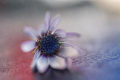 Daisy (borealnz) Tags: osteospermum flower macro pretty bokeh soft petals flowers flora nature purple lavender pastel