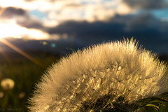 Taraxacum Officinale A la Kat II (Explored No.87, 27-July-2016) (Patstirling) Tags: alberta britishcolumbia mountain crowsnest valley pass travel trip world explore clouds green landscape golden hour polarized camping camp offroading backcountry wife weekend road is usm sunset goldenhour leaves sun outdoor mountainside grassland field meadow rain wind cloud foothill canon70d 2470mmf4l dandelion taraxacum officinale bokeh blur plant flower texture organic pattern web macro abstract grass f22 fav25