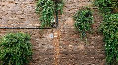 Capers (lorenzoviolone) Tags: italy plant roma nature wall bricks streetphotography number wires finepix fujifilm streetphoto lazio caper fujiastia100f caperplant mirrorless vsco vscofilm streetphotocolor fujix100s x100s fujifilmx100s walk:rome=july102016