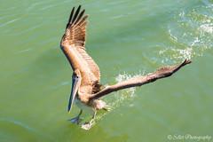 Pelicans at Murrell's Inlet - 05 (Greenstyle1) Tags: pelican sea bird flight flying wings feathers coastal marsh wetlands saltmarshes salt water animal outdoor ocean beach wildlife marshwalk murrellsinlet myrtlebeach sc southcarolina randysellet sellet
