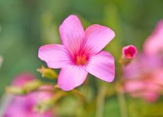 Flowers - pink & purple (Daniela Parra F.) Tags: flores flor flower flowers garden plants macro details jardin colores colours colors color macroshots microworld pink tiny