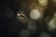 Sun goes down (Psztor Andrs) Tags: sunset bokeh bubble trioplanlike dragonfly tree orange blue manual projector lens nature dslr nikon hungary andras pasztor photography