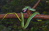 Green Vine Snake, Amboli (Yogendra174) Tags: 7dm2 amboli macro nature wildlife greenvinesnake 100mmmacro rain wet indianwildlife