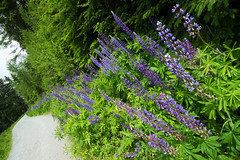 The lupins' walk (smir_001 (on/off)) Tags: plants mountains green tourism nature landscape outdoors austria flora rocks purple outdoor hiking stones walk route trail alpine wildflowers fabaceae dachstein lupin lupine attraction styria lupinus subalpine trail6 ramsauamdachstein canoneos7d thelegumefamily austria2016