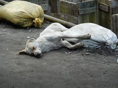. (S_Artur_M) Tags: india indien lumix panasonic reise tz10 travel darjeeling westbengal dog street hund
