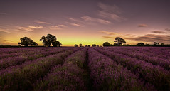Somerset Lavender (Nickerzzzzz - Thanks for stopping by :)) Tags: ©nickudy sky landscape colour photograph sunrise sunset cloud somerset lavender horsepondfarm flora faulkland radstock goldenhour