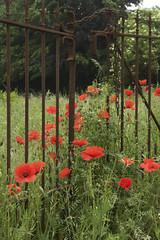 DSC_0319 (Frie Van Grunderbeeck) Tags: belgium belgi vlaanderen vlaamsbrabant hageland outdoor landscape landschap lente spring voorjaar binkom lubbeek poppy klaproos papaver hek fence locked out bloem flower