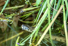 grass snake in our garden pond (jeanrook60) Tags: pond essex grasssnake natrixnatrix