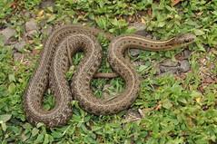 Northwestern Gartersnake (J T Williams) Tags: northwestern gartersnake thamnophis ordinoides oregon snake