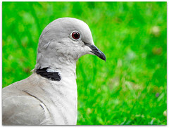 An unusual sighting! (macfudge1UK) Tags: nature 2016 avian bird britishbird britishbirds england fauna gb greatbritain oxfordshire oxon rspbgreenstatus uk wildlife allrightsreserved bbcsummerwatch summer nikon coolpix coolpixp610 p610 nikoncoolpixp610 britain closeup collareddove grass portrait streptopeliadecaocto naturethroughthelens