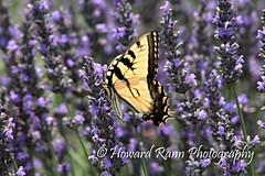 Carousel Lavender Farms (118) (Framemaker 2014) Tags: carousel lavender farms mechanicsville pennsylvania bucks county united states america