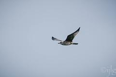 24072016DSC_0226.jpg (Ignacio Javier ( Nacho)) Tags: naturea gaviotas aves facebook flickr faunayflora