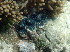 Not so giant clam Michaelmas Cay (dracophylla) Tags: michaelmascay greatbarrierreef queensland australia