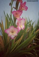 Orqudeas 2016 (andre99amaral) Tags: natureza corderosa orqudeas flower