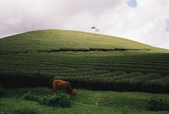 tea hill (InSoManyWords) Tags: film 35mm fujisuperia200 rollei35 vietnam mocchau tea