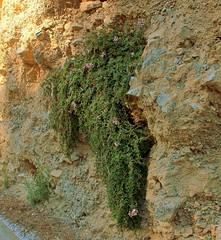 Plocama calabrica (2) (pflanzenflsterer) Tags: 4petals rubiaceae putoriacalabrica chasmophyt andalusien spanien strauch marokko mittelmeer trkei turkey europa nordafrika afrika griechenland algerien libyen weis white gestank pink rosa