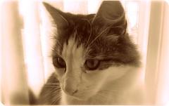 (Riik@mctr) Tags: max cat indoor pet samsung fone phone gt1900 animal kitten