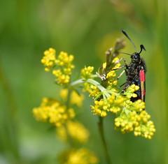 Burnet Moth on Ladys Bedstraw (heathernewman) Tags: flower moth burnet burnetmoth ladysbedstraw