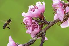 Primavera (afrigole) Tags: flower primavera nature ball football spring flor girona bee sakura championsleague hanami flors
