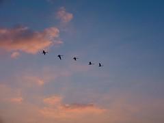 Racing the Dawn (alex.illumidata) Tags: pink blue sky cloud nature flying geese flight sudbury migration sunray x100