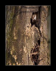 Treecreeper at nest (tkimages2011) Tags: tree bird nest dam creeper sthelens merseyside treecreeper carrmill