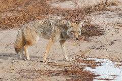 Female coyote out for a stroll